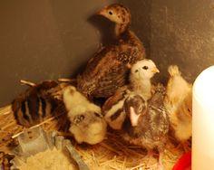 Raising Turkey Chicks, soo cute!