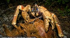 Coconut Crab: Shows a number of adaptations to life on land. ~ [Wikipedia]
