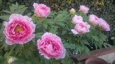 Le peonie del mio giardino