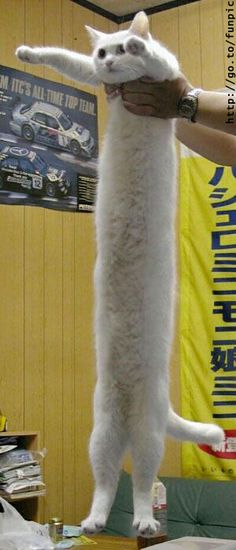 Guiness Book World Records for longest kitty in the world