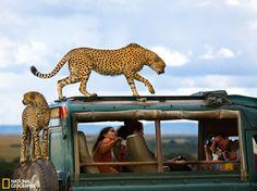 肯尼亚猎豹跳上观光车