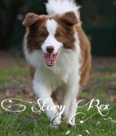 My beautiful crazy red and white border collie, Sid