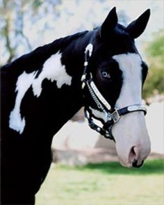 Paint horse with blue eyes
