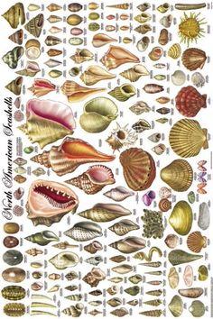 North American Seashells, a vintage poster depicting 140 types of shells Seashell Art, Seashell Crafts, Beach Crafts, Seashell Ornaments, Seashell Identification, Types Of Shells, History Images, Shell Beach, Ocean Themes