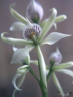and her journey continues..., flowersgardenlove: Encyclia fragans Flowers...