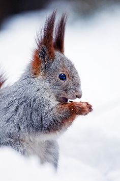 "Squirrel:  ""My nuts have become frozen in their storage!"" (Photo By: Borman-1.)"