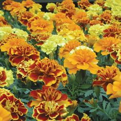 French Marigold Seeds - Brocade Mix - Ounce, Summer/Mixed Orange/Yellow and Gold Flowers, Eden Brothers Bird Netting, Fairy Garden Plants, Orange Center, Marigold Flower, Market Garden, All Flowers, Edible Flowers, Companion Planting, All Plants