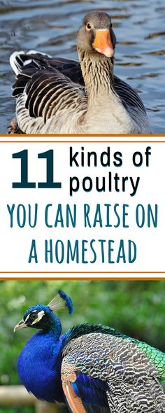 Kinds of poultry to you raise and breed - so many ideas here!