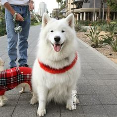 """Nahoa, Samoyed (3 y/o), Gaslamp Quarter ▪ """"She can't be without her brother (bottom left)."""""""