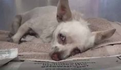 10/25/17 How did a tiny 14-year-old Chihuahua wander away from her home and wind up at the Carson Animal Care Center in California? This poor little one is being kept in the medical section so she can rest, but she is in dire need of an experienced rescuer. Shelter notes indicate she is depressed and refuses …