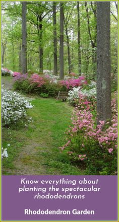 The azalea garden is situated on the banks of the Patuxent River, by Brighton Dam (built in The 5 acre garden has over azaleas and is pro Pruning Azaleas, Azaleas Landscaping, Garden Shrubs, Shade Garden, Backyard Landscaping, Landscaping Ideas, Backyard Ideas, Maryland, Brighton