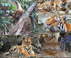 STOP KILLING AND POACHING TIGERS IN INDIA FOR THEIR SKIN !!! PLEASE SIGN & SHARE WIDELY THESE ►► 3☚ PETITIONS ! ►PET.1 http://www.greenpeace.org/canada/en/campaigns/forests/Indonesia/Get-involved/Letter-to-APP-/ ►PET.2 http://www.thepetitionsite.com/727/269/524/save-the-wetlands-of-north-bengal/ ►PET.3 https://www.change.org/petitions/stop-killing-of-tigers-and-leopards-in-india