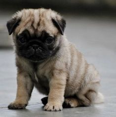 Pinned To Pug A Pug With Love  #pugapug