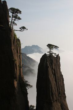Huangshan pines on Mt. Huangshan, Anhui, China. Their seeds fall into rock crevices where they take root. The pines grow very slowly due to the poor soil and climatic conditions. A tree less than 3m (9.84ft) high may have grown for over one hundred years or even several hundred years.