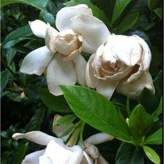 Gardenias -- love their fragrance.