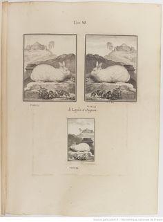 Lapin d'Angora, Figures pour l'histoire des quadrupèdes, par M. de Buffon.. Tome II / Déssins [sic] originaux par DeSeve et Buvée, avec les Gravures des Editions in12 et in4° vol. 5 à 7.   1755-1758