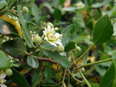 Flor de Quillay