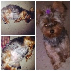 My beautiful Coco on ur pregnancy journey (Yorkie)