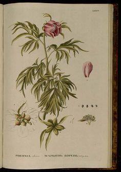 171035 Paeonia anomala L. [as Paeonia sibirica Pallas] / Pallas, P.S., Flora rossica, vol. 1(2): p. 93, t. 85 (1788) [K.F. Knappe]