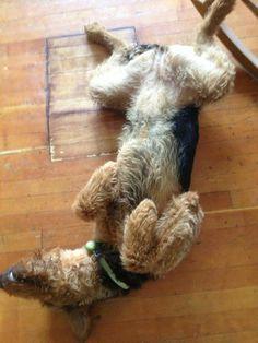 Airedale Sleep Position #307