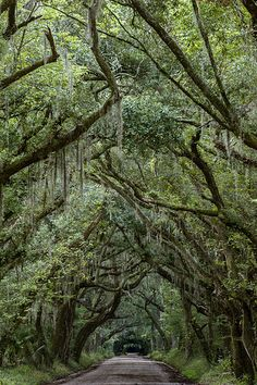 Live Oaks & Spanish Moss - Edisto Island, South Carolina