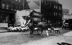 1922 - Cows and sheep on Stoke Newington Church Street by Yoakley Road - Green Lanes would have looked like this too! Greater London, Old London, Local History, Photographs, Photos, Cows, Sheep, Illustrations, Places