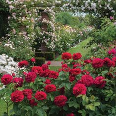 L. D. Braithwaite - English Rose Shrubs - English roses - bred by David Austin