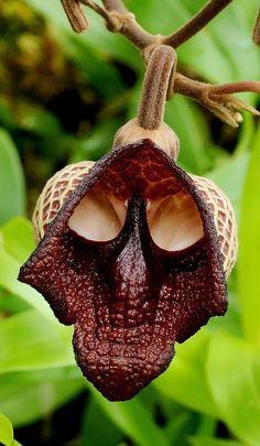Skull Flower - Aristolochia Salvador Platensis