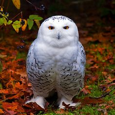 Snowy Owl in Autumn (EXPLORE) by Steve Wilson - need to up my game on Flickr.