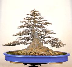Trident maple's (Acer buergeranum) massive nebari is a dead giveaway that it was field grown. Acer Bonsai, Maple Bonsai, Bonsai Art, Bonsai Garden, Bonsai Tree Care, Bonsai Trees, Bonsai Plants, All About Plants, Belle Plante