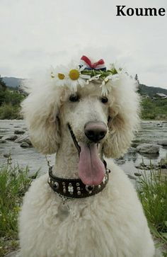 All Dogs, I Love Dogs, Best Dogs, French Poodles, Standard Poodles, Gorgeous Girl, Beautiful Dogs, Real Dog, My Buddy