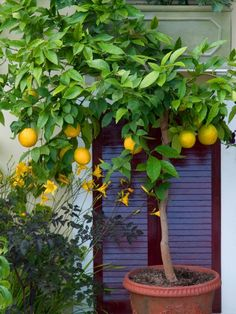 Plants You Can Grow in Containers Citrus trees can be grown in pots, just bring them into a sun porch or sunny window for the winter.Citrus trees can be grown in pots, just bring them into a sun porch or sunny window for the winter. Citrus Trees, Fruit Trees, Lime Trees, Orange Trees, Citrus Fruits, Pot Jardin, Potted Trees, Edible Garden, Clematis