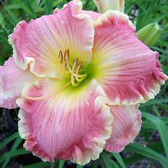 Day-lily: Hemerocallis 'Ann Koonce' [Family: Xanthorrhoeaceae]