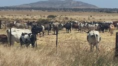 nGuni cattle Livestock, Cattle, South Africa, Hug, Westerns, Horses, Animals, Gado Gado, Animales