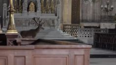 """furiousqueerious: """" phoebebishopwright: """"A deer wanders quietly in a church in France. """" old gods """""""