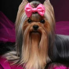 Do you know about Yorkshire Terriers? by L&G PET Photo by Pixabay from Pexels The Yorkshire Terrier originally originate. Yorkshire Terrier Haircut, Yorkshire Terrier Puppies, I Love Dogs, Cute Dogs, Yorshire Terrier, Bull Terriers, Top Dog Breeds, Yorkie Puppy, Poodle Puppies