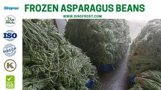 FROZEN ASPARAGUS BEANS IQF ASPARAGUS BEANS FROZEN COWPEAS  IQF COWPEAS  FROZEN ASPARAGUS BEANS SUPPLIER CHINA IQF ASPARAGUS BEANS SUPPLIER CHINA FROZEN COWPEAS SUPPLIER CHINA IQF COWPEAS SUPPLIER CHINA FROZEN VEGETABLES SUPPLIER CHINA FROZEN FRUITS SUPPLIER CHINA  MORE INFO: cwl@sinofrost.com.cn Asparagus Beans, Frozen Vegetables, Cabbage, Fruit, China, Food, Essen, Cabbages, Meals