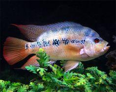 Lyon's Cichlid,Amphilophus lyonsiSpecies Profile, Lyon's Cichlid Care Instructions, Lyon's Cichlid Feeding and more.::Aquarium Domain.com
