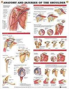Anatomy and Injuries of the Shoulder anatomy poster shows views of the shoulder anatomy, impingement, rotator cuff tear, trauma and bicipital tendon.