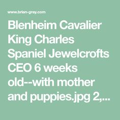 Blenheim Cavalier King Charles Spaniel Jewelcrofts CEO 6 weeks old--with mother and puppies. King Charles Spaniel, Cavalier King Charles, Spaniel Puppies For Sale, Puppy Facts, Puppy Care, Dogs, Animals, Animales, Animaux