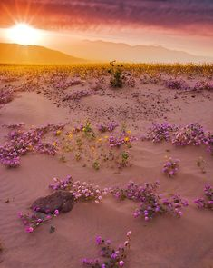 Beautiful USA - Life in Death Valley, California. Desert Flowers, Wild Flowers, Purple Flowers, Desert Colors, Blooming Flowers, All Nature, Amazing Nature, Beautiful World, Beautiful Places