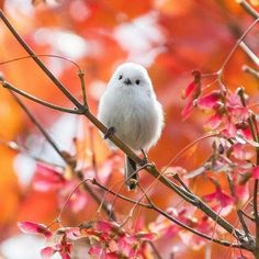 "todayintokyo:  ""Long-tailed tit, photographed by mya0618 and showcased on Tokyo Camera Club. Its Japanese name is enaga (エナガ).  """