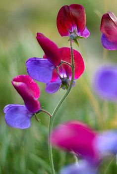 Sweetpeas are the prettiest and most fragrant of flowers.