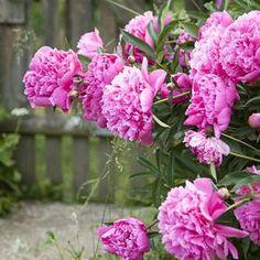 Delphiniums, Clematis, Dream Garden, Garden Plants, Cactus, Hydrangea, Gardening Tips, Outdoor Gardens, Pink Purple