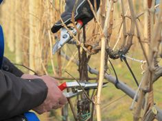 Pruning the vineyards at Allegrini