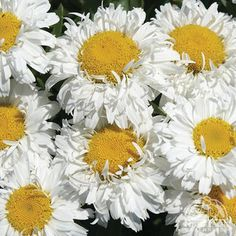 """Leucanthemum × superbum 'Freak!' Height 10-14 inches Spread 18-21 inches(one site showed width to 32"""""""