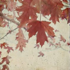 Nature Leaf  Photograph - Vintage Inspired -Red Maple Leaves Fine Art Photography 8x8 inches Autumn Days. $35.00, via Etsy.