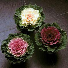 Brassica oleracea: col ornamental para alegrar el invierno     Imagen 8