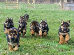 An avalanche of cute, adorable German Shepherd puppies ♥