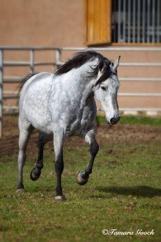 Tamara Gooch Photography: The Incredible Mangalarga Marchador Horse